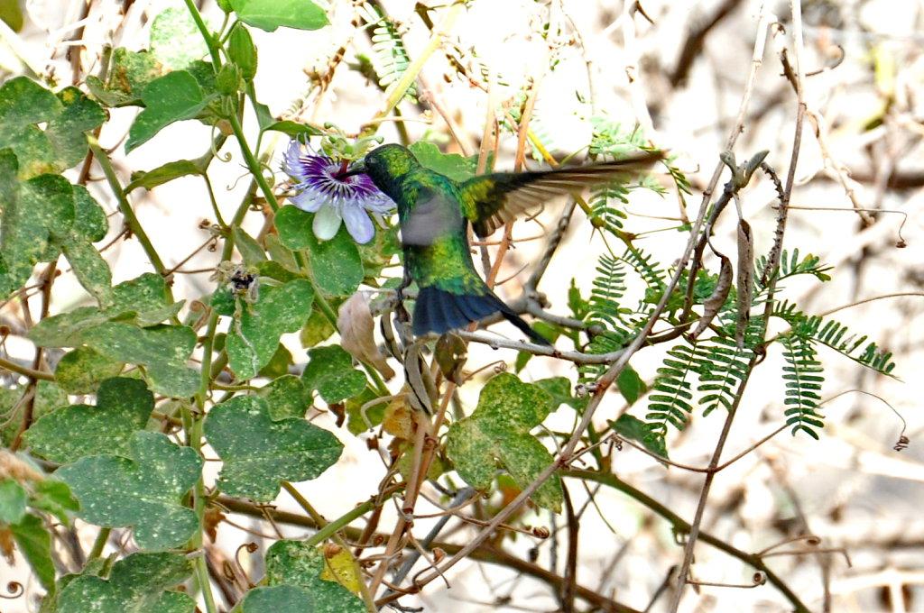 kolibri.jpg